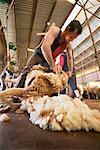 Sheering Sheep at Kars Station, New South Wales, Australia