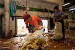 Sheep Shearing, Peninsula Valdez, Chubut Province, Argentina, Patagonia
