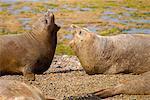 Southern Elephant Seals, Punta Delgada, péninsule Valdez, Province de Chubut, en Argentine, Patagonie