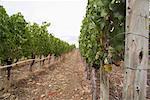 Vineyard, British Columbia, Canada