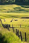 Sheep in the Tukituki Valley, Hawke's Bay, New Zealand