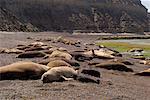 Joints au rivage, Punta Delgada, péninsule Valdez, Province de Chubut, en Argentine, Patagonie