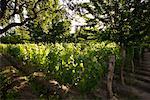 Vineyard Malbec, Finca Adalgisa, Mendoza, Argentine