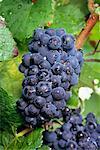Gros plan du raisin
