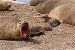 Southern Elephant Seals, Punta Delgada, Peninsula Valdez, Chubut Province, Argentina, Patagonia
