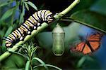 Cycle de vie d'un papillon monarque