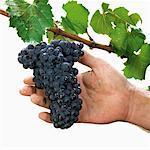 Pinot Noir raisin sur la vigne