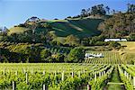Vignoble, Te Mata Winery, Havelock North, Bay, Nouvelle-Zélande Hawke
