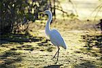 Great Egret, Ding Darling Wildlife Refuge, Sanibel Island, Florida, USA