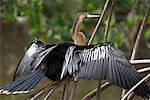 Anhinga, Ding Darling National Wildlife Refuge, île de Sanibel, Floride, USA