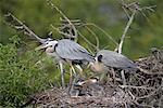 Great Blue Herons On Nest, Venice Rookery, Venice, Florida, USA