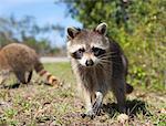 Young Raccoons, Ding Darling National Wildlife Refuge, Sanibel Island, Florida, USA