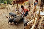 Femme alimentation des porcs, Village de Huaysan, Laos