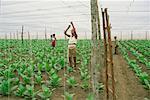 Farmers Working at Tobacco Plantation, Cuba