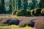 Champ de lavande en Provence, France