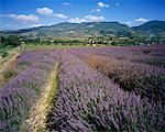 Lavender Field, Drome, Provence, France