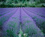 Lavender Fields, Vaucluse, Provence, France