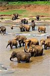 Elephants in River, Pinnewala Elephant Orphanage, Sri Lanka