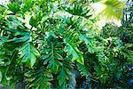 Philodendron, Los Angeles County Arboretum und Botanischer Garten, Arcadia, Kalifornien, USA