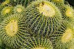 Golden Barrel Cactus, Huntington Botanical Garden, Pasadena, Californie, USA