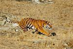 Tigre du Bengale, marcher dans l'herbe