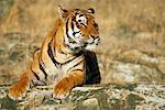 Tigre du Bengale sur les rochers
