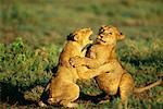 Lionceaux jouant, Parc National du Serengeti en Tanzanie