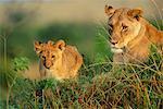 Mère Lion Cub jeune, Masai Mara National Reserve, Kenya