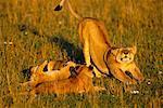 Mother Lion With Lion Cubs, Masai Mara National Reserve, Kenya