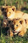 Lion Cubs, réserve nationale de Masai Mara, Kenya, Afrique