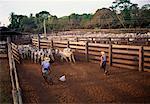 Farmers Herding Cattle, Caiman, Pantanal, Brazil
