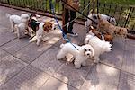Promeneur de chien à Buenos Aires, Argentine