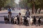 People Herding Goats, Rajusthan, India