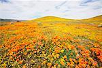 Fleurs sauvages dans la vallée d'Antelope, Californie, USA