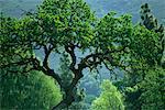 Arbre aux Branches noueuses, Napa Valley, Californie, USA