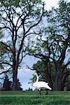Oiseau de champ, Napa Valley, Californie, USA