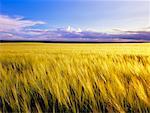 Barley Field, Alberta, Canada