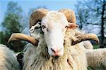 Portrait of Moorland Sheep