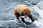 Ours grizzli capturer du poisson, Katmai National Park, Alaska, Etats-Unis