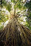 Curtain Fig Tree, The Atherton Tablelands, Near Yungaburra, Queensland, Australia