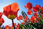 Parlement canadien et tulipes, Ottawa, Ontario, Canada