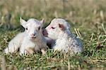 Portrait of Lambs
