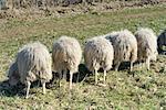 Row of Moorland Sheep Eating
