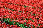 Field of Tulips, Lisse, Netherlands