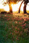 Lever du soleil sur la prairie, Texas Hill Country, Texas, Etats-Unis