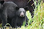 Portrait of Black Bear Cub with Family, Northern Minnesota, USA