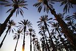 Arbres de bosquet de palmiers dattiers, Indio, Californie, USA
