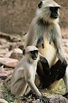 Entelle, Parc National de Ranthambhore, Inde