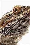 Portrait of Bearded Dragon Lizard