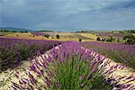 Champs de lavande en Provence, France
